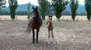 Undurra Kiraa   Straight Egyptian mare and her 2016 filly by Simeon Shiur