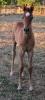Undurra colt born 5.12.15