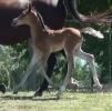 Undurra Tiara filly foal by Simeon Shatah