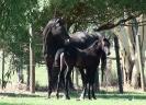 Undurra Satine and 2017 foal